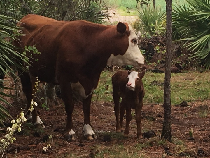 Mother Cow and Newborn Calf